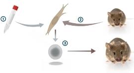 В мышиный фибробласт Яманака вводил гены транскрипционных факторов (представлены пробиркой). Нажмите, чтобы увеличить.