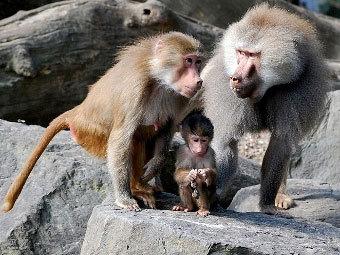 Самка, самец и детеныш гамадрила. Фото Dick Mudde