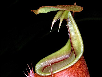 Nepenthes bicalcarata. Фото Flickr / AJ Cann
