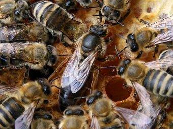 Пчелиная матка в окружении рабочих пчел. Фото Waugsberg