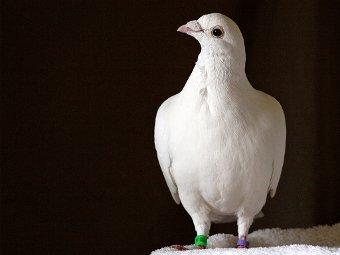 Почтовый голубь. Фото ingridtaylar