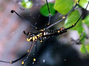 Nephila maculata. Фото с сайта richard-seaman.com