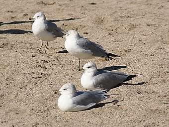 Чайки вида Larus delawarensis. Фото с сайта miami.edu
