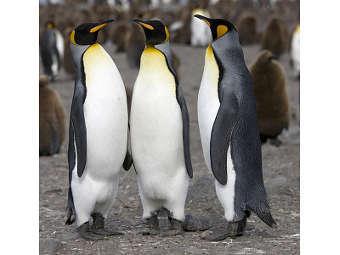 Пингвины гомосексуальные пар