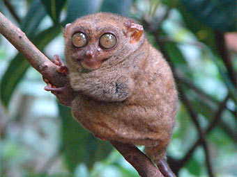 Филиппинский долгопят находится относительно недалеко от Homo sapiens на эволюционной лестнице. И тем не менее проследить все связи даже между ним и человеком ученые пока не могут. Фото пользователя Plerzelwupp с сайта wikipedia.org
