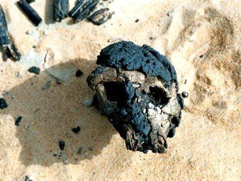 Череп Тумаи (TM 266-01-60-1), найденный в пустыне Сахара в 2001 году. Фото AFP
