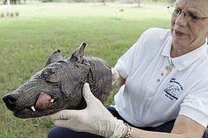 Фрагмент тела чупакабры, найденной в Техасе. Фото с сайта cachefly.ne