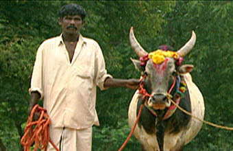 Священная корова. Фото с сайта pbs.org