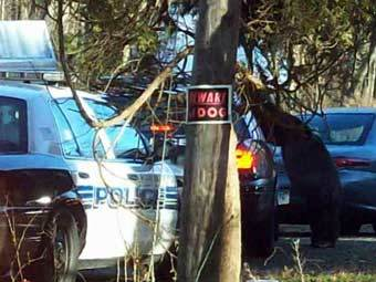 Шимпанзе у двери полицейской машины. Кадр видеозаписи с сайта NBC Connecticut