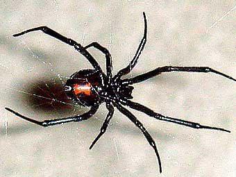 Внешний вид черной вдовы. Фото пользователя Trachemys с сайта wikipedia.org