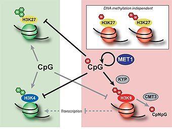 Один из эпигенетических механизмов - переход хроматина из активного (показано зеленым) в неактивное (показано красным) состояние при метилировании ДНК. Изображение Olivier Mathieu, Aline V Probst, Jerzy Paszkowski