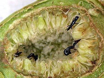 Личинки ос-опылителей внутри плода инжира. Фото с сайта sciencenow.sciencemag.org