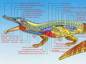 Анатомия крокодила. Иллюстрация с сайта flmnh.ufl.edu