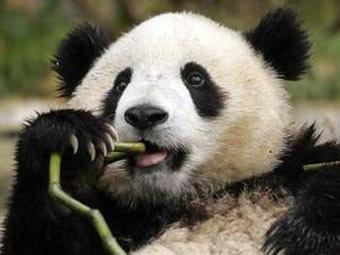 Медведь-панда. Фото с сайта chinagiantpanda.com
