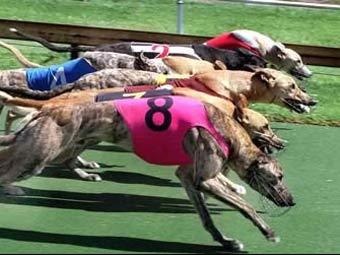 Бега борзых собак. Фото с сайта greyhoundraces.com.au