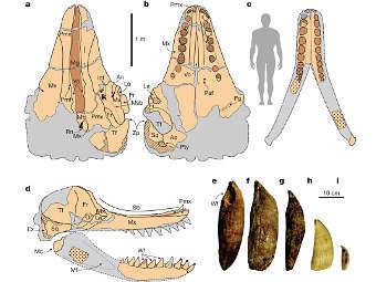 Сравнение размеров Leviathan melvillei и его зубов и человека. Изображение авторов исследования