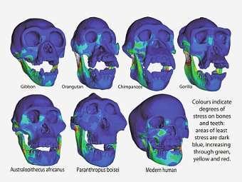 Модели черепов, на которых цветом показано напряжение на кости и зубы, возникающее при укусе (возрастает от синего к зеленому, желтому и красному). Изображение авторов исследования
