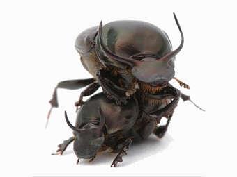 Жуки Onthophagus taurus. Фото с сайта iu.edu