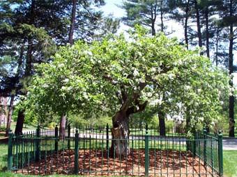 Яблоня, выросшая из семени того самого дерева, с которого упало знаменитое яблоко. Фото с сайта babson.edu