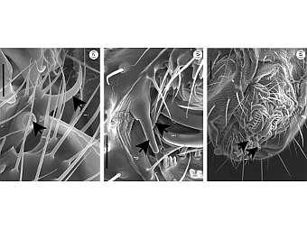 Различные образования на половых органах самцов Drosophila bipectinata. Фото авторов исследования
