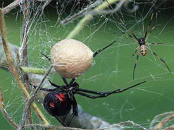 Один из самых ядовитых пауков черная вдова, или каракурт. Фото с сайта kostich.com
