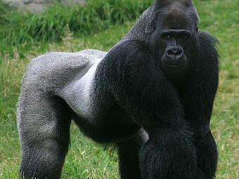 Секс с гориллой монстром