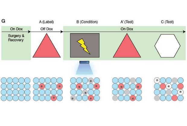 Схема эксперимента с образованием ложной памяти. Вверху символически отмечены клетки, внизу — нейроны.