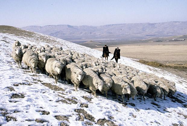 Отара овец в Карачаево-Черкесии