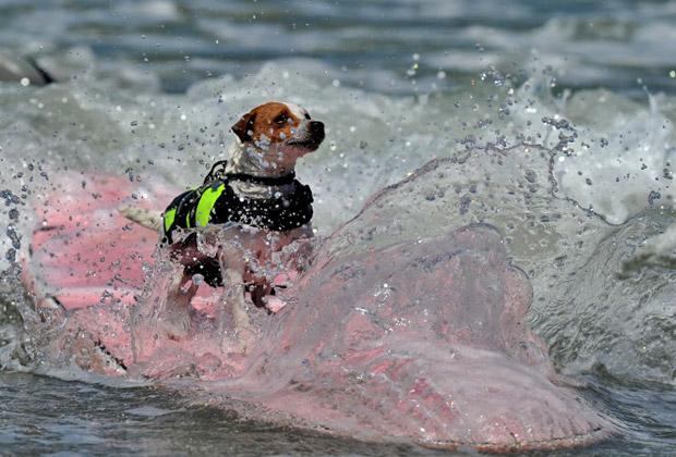 Ежегодный конкурс среди собак-серферов в  Loews Coronado Bay Resort & Spa