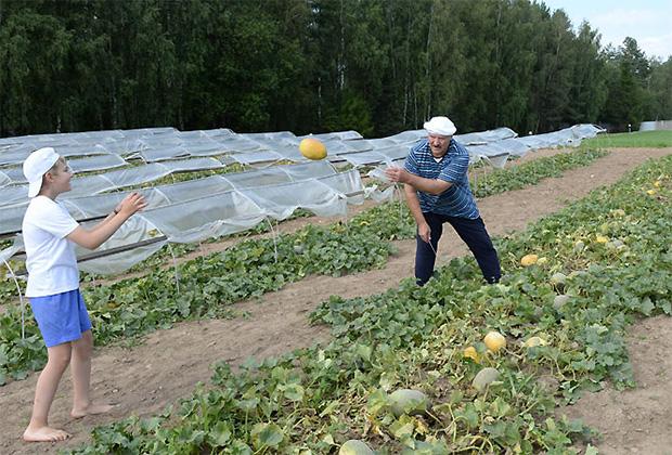 Уборка бахчевых культур и овощей на территории официальной резиденции Президента Республики Беларусь