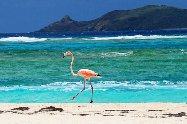A flamingo walks along the beach on Necker Island in the British Virgin Islands, Friday, May 17, 2013. Richard Branson, the adventuring CEO and founder of the Virgin Group of companies is co-hosting a two-day meeting at Necker Island, his home in the British Virgin Islands, where he has developed an ultra-exclusive eco-resort that showcases renewable energy technology, reintroduced flamingoes, imported lemurs and other creatures.