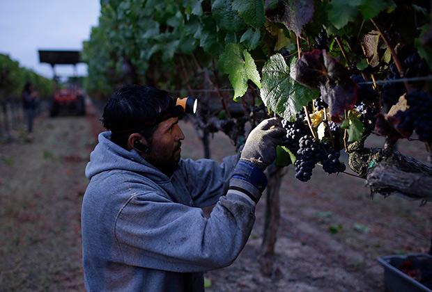 Для сладкого вина нужно много солнца и заботливые руки