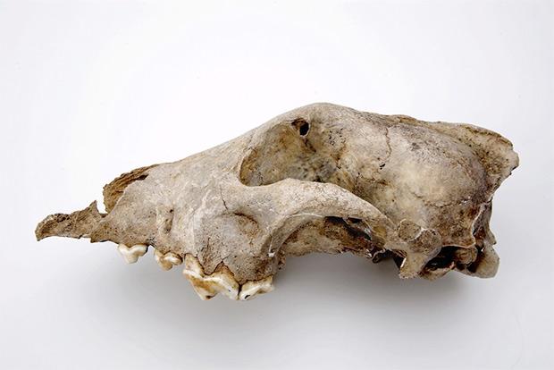 Череп палеолитической «собаки» из пещеры Гойе (Бельгия)