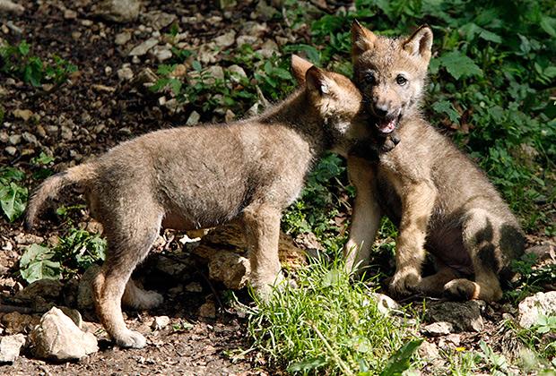 Два волчонка играют в горах Швейцарии