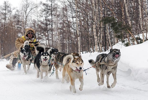 Собачья упряжка (Сибирь)