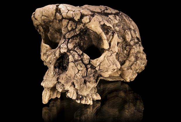 Череп Sahelanthropus tchadensis, Музей антропологии в Тулузе