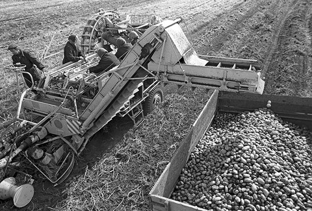 Уборка картофеля на осушенных землях совхоза «Малеч». Полесье, Белорусская ССР