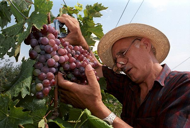 В этом году виноград в Сербии уродился на славу