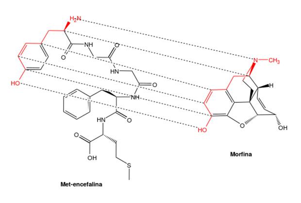 Структурные соответствия между опиоидным пептидом и морфином