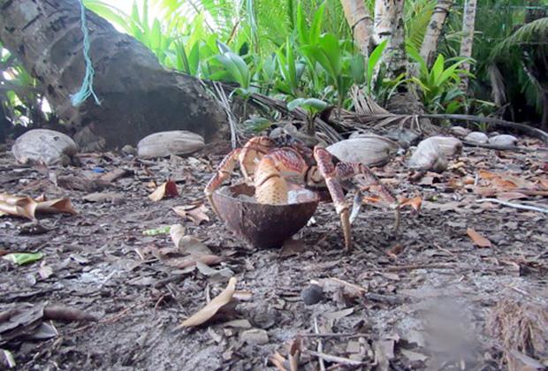 Кокосовый краб утаскивает кокос