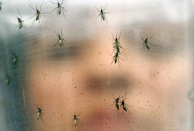 Комары Aedes aegypti переносят вирус Зика