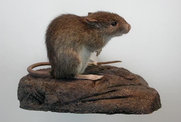 Тихоокеанская крыса