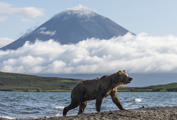 Медведь на берегу Курильского озера, Камчатка