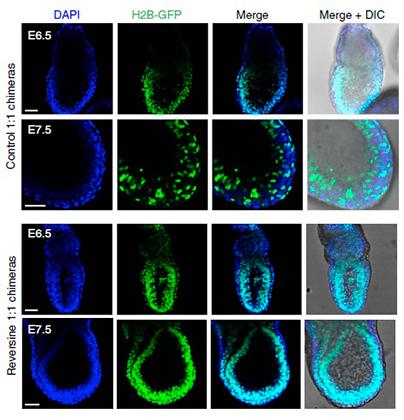 Изображение химерного эмбриона с обычными и аномальными клетками