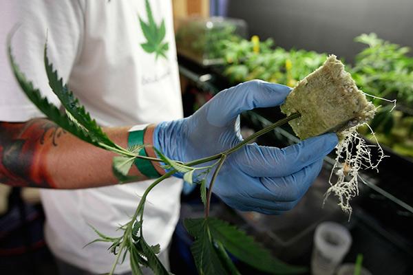 Как заняться бизнесом марихуаны конопля как растят