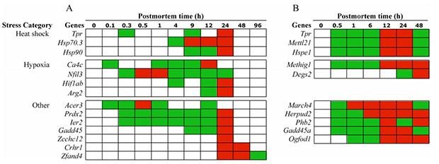 Активность различных генов после смерти в рыбах (слева) и мышах (справа). Красным цветом указан максимум активности
