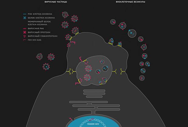 Сходство в образовании вирусов и внеклеточных везикул