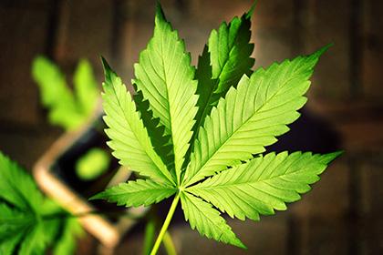 Что вреднее конопля или табак марихуана как курить форум