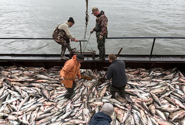 Рыбаки во время приема лосося на фабрике береговой обработки рыбы рыболовецкого колхоза имени В. И. Ленина в Петропавловске-Камчатском