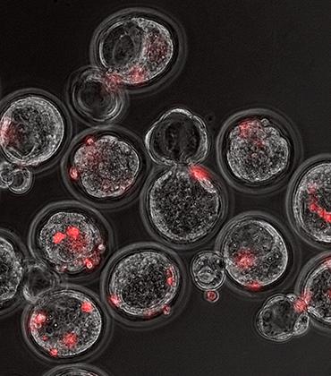 Стволовые клетки человека (красные) в эмбрионах мышей на стадии бластоцисты